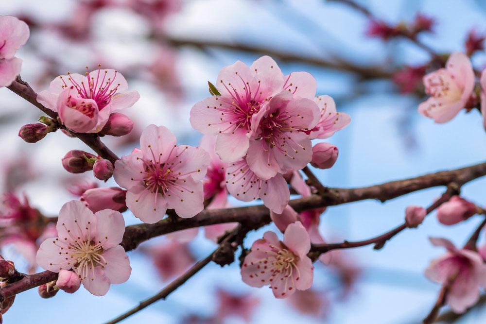 Kvitnúca broskyňa