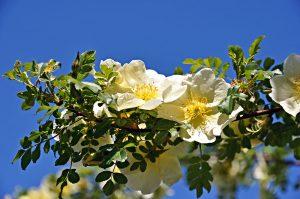 Ruža Hugova