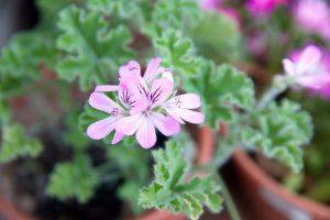 Kvitnúci aromatický muškát