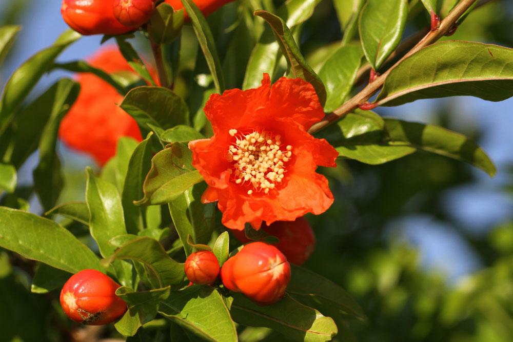 Kvet granátového jablka