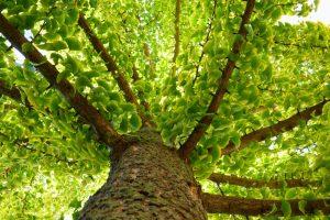 Strom ginko