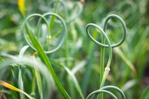 Kvet cesnaku - paličiaka