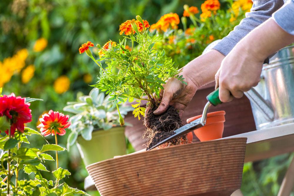 Kvety v záhone, presádzanie