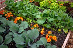 Aksamietnice v zeleninovom záhone