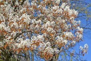Kvety muchovníka