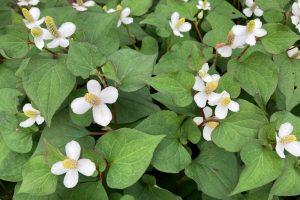 Kvitnúca hutínia