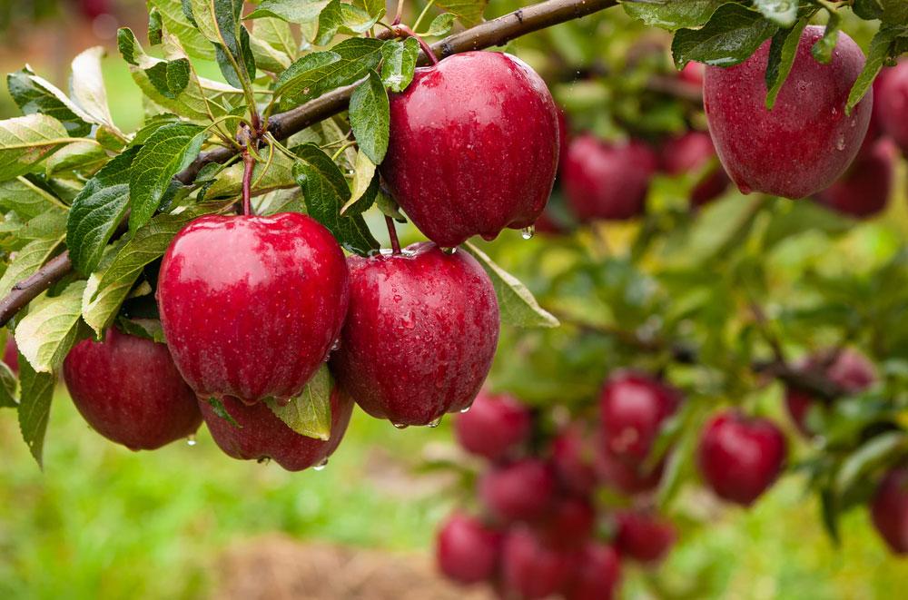 Úroda červených jabĺk na jabloni