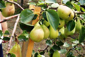 Podopretie konára s veľkou násadou plodov