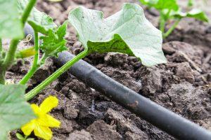 Kvapková závlaha pri uhorkách