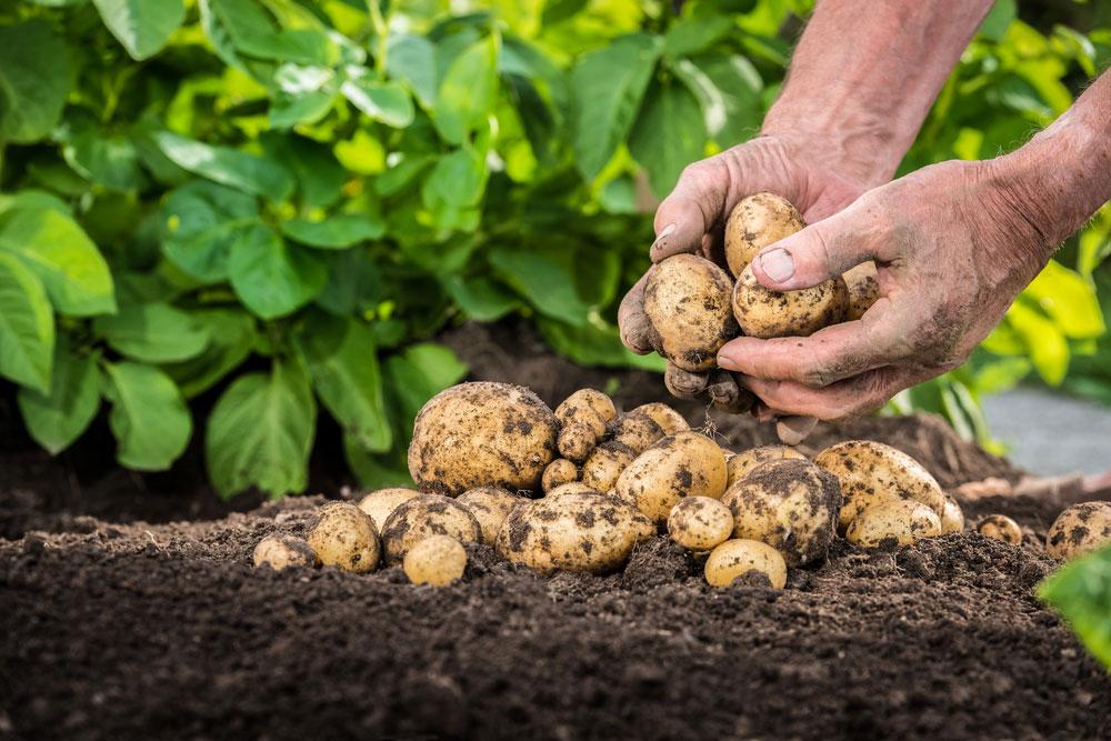 Úroda zemiakov na hriadke