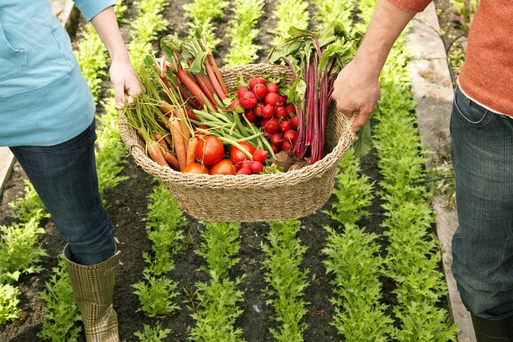 Úroda zeleniny v košíku, dve ruky, ktoré kôs nesú