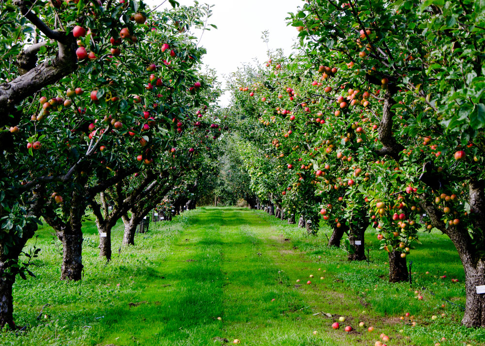 Ovocný sad