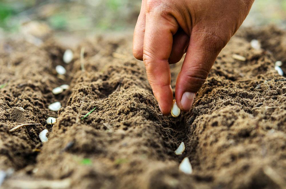 Výsev semienok do riadku
