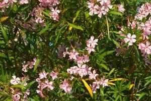 Žltnutie listov oleandra