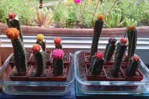 Vrúbľované kaktusy