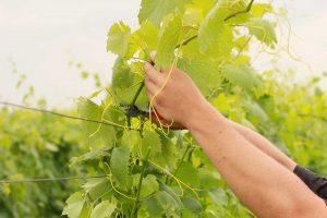 Letné práce vo vinici - snímanie