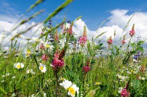 Kvitnúca lúka