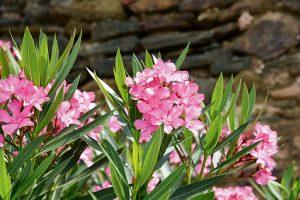Kvitnúci oleander ružovej farby