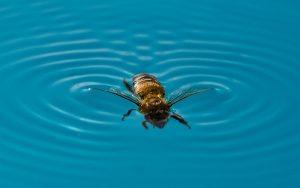Včela v bazéne