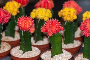 Vrúbľovaný kaktus