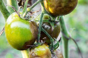 Pleseň na paradajkách