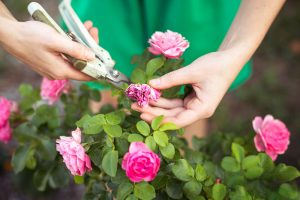 Rez odkvitnutých kvetov ruže