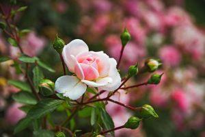 Kvet ruže