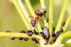 Mravec a vošky na rastline