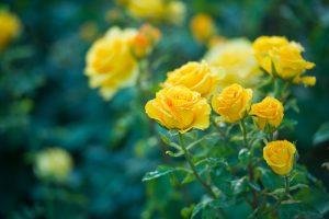 Žlté kvety ruže