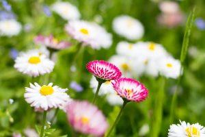 Sedmokráska v záhrade