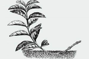 Rozmnožovanie rastlín potápaním