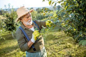 Starší záhradkár reže jabloň, leto
