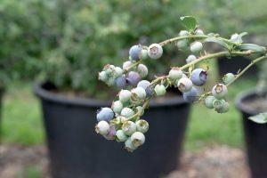 Pestovanie čučoriedok v nádobách