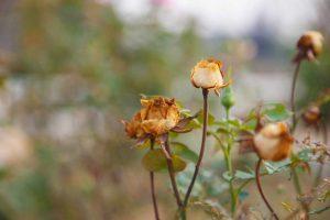 Odkvitnuté kvety ruže