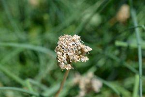 Semienka pažítky v odkvitnutom kvete