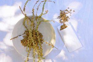 Semienka mangoldu