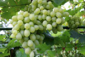 Vitis vinifera ´Galahad´ 03