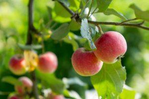 Jablká na jabloni