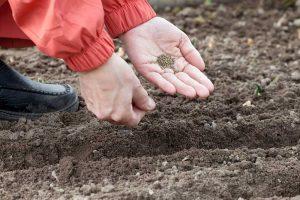 Výsev semienok do pôdy