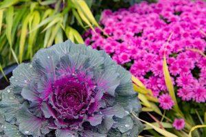 Okrasná kapusta, chryzantémy a rákosovka