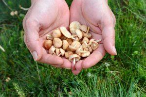 Tanečnica poľná - huby v dlaniach