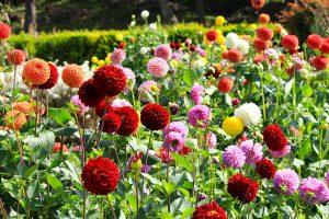 Farebné georgíny v záhrade