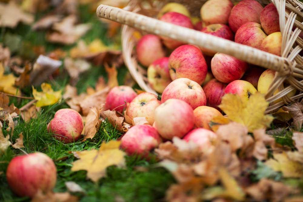 Jablká vysypané z košíka