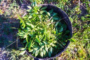 Konáriky wistérie vo vedre